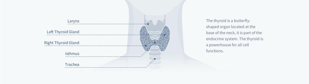 diagram-of-a-thyroid-gland