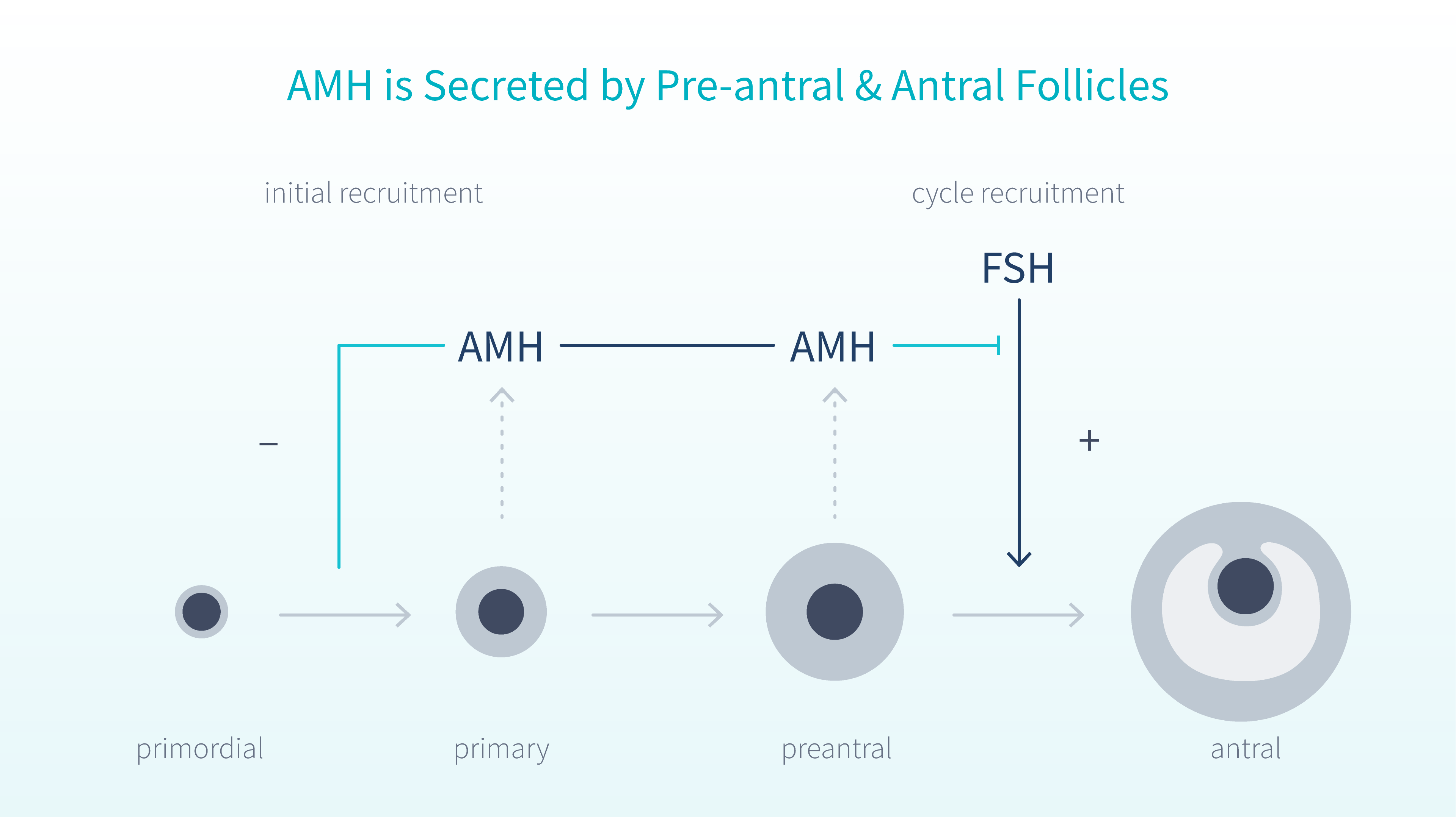 amh-levels-explained-4